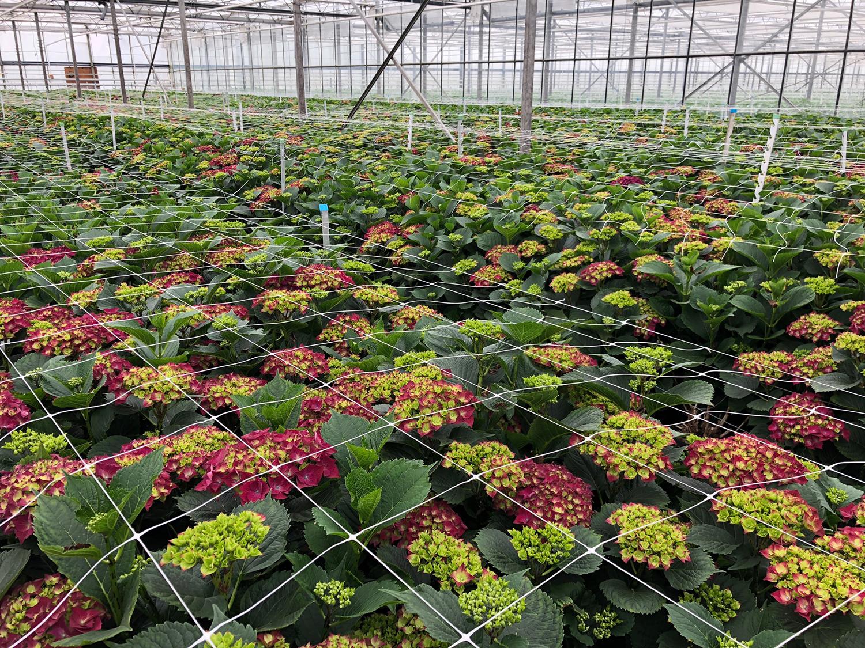 4.0 Kwekerij-pieterkolk-hortensia-verena-hydrangeakopie